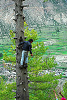 A man climbs a tree to tie a rope around its trunk so that it could be pulled down after cutting Manung, Nepal July 3, 2009