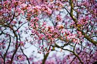 Flowering tree in spring, Botanical Garden, Munich, Bavaria, Germany