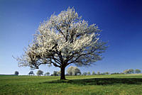 Cherry blossom in a field near Oelbronn, Baden_Wuerttemberg, Germany