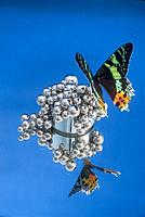 Butterfly sunset moth Urania leilus on ball bearings all on reflection