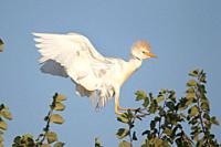 Cattle Egret Bubulcus ibis flying over S'Albufera, Majorca, Spain