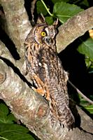 Long-eared Owl on a tree, Majorca, Spain