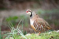 Red-legged Partridge Alectoris rufa, Majorca, Spain