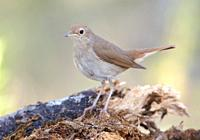 Nightingale Luscinia megarhynchos, Majorca, Spain