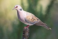 Turtle Dove on a branch, Majorca, Spain