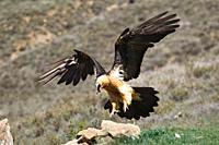 Bearded Vulture Gypaetus barbatus landing, Lleida, spain