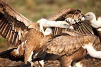 Griffon Vulture Gyps fulvus, Lleida, Spain