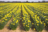 Field of Daffodils Titchfield Hampshire