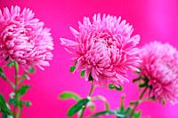 Adorable Pink Asters Still Life