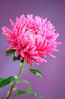 Graceful Pink Aster Single Stem