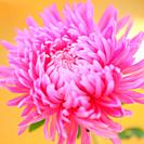 Striking Pink Aster Bloom