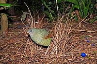 a green satin bowerbird, Ptilonorhynchus violaceus, standing in its bower  This is a young male which has not yet changed to the glossy black of the a...