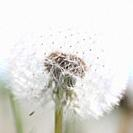 Heavenly and Fresh Dandelion Seed Head, Parachute Ball