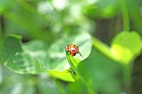 Switzerland, Canton Baselland, ladybird on a blade of grass