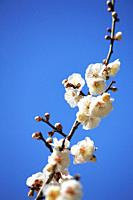 Plum blossoms, Fukushima, Japan