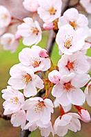 Cherry blossoms, Fukushima, Japan