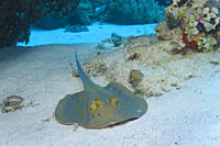 Two blue spotted rays Taeniuro meyeni on sandy bottom, Egyptian Red Sea 28_9_07
