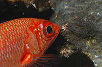 Bigeye Snapper Priacanthus hamrur red fish with large black eye swimming diagonally with head in profile, Tahiti, French Polynesia Underwater
