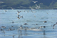 Kittiwakes Rissa tridactyla attacking sand eel baitball Isle of Mull, Western Scotand