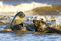 Grey Seal, Halichoerus grypus, female and male in sea, female resisting males advancs to try and mate, Lincolnshire, UK A4 only