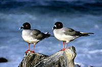 Pair of swallow_tailed gulls sleeping standing Creagrus furcatus Punta Suarez, Espa&#210;ola Island, Galapagos, Ecuador
