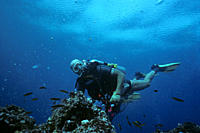 Diver holding on to reef in strong current amongst rainbow wrasse Homo sapiens and Thalossoma lucasanum Gordon Rocks, Santa Cruz Island, Galapagos Ecu...