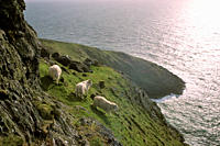 Sheep on north Devon Exmoor coastal cliffs 2002