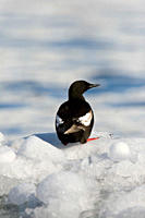 Adult black guillemot Cepphus grylle in summer plumage on ice in the Svalbard Archipelago in the Barents Sea, Norway