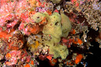 Colorful encrusting sponges, Ilha Escalvada, Guarapari, Esp&#237;rito Santo, Brazil