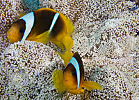 Red Sea anemonefish couple Amphiprion bicinctus in their host, Haddon's anemone Stichodactyla haddoni Na'ama Bay, Sharm el Sheikh, South Sinai, Red Se...