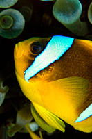 portrait of a posing Red Sea Anemone Fish Amphiprion bicintus , with anemone in the background red Sea, Egypt