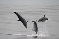 Bottlenose Dolphin, Tursiops truncatus leaping trio Azores RR