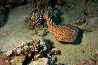 Marbled torpedo ray Torpedo sinuspersici searching the sandy bottom Ras Abu Galum Gulf of Aqaba South Sinai
