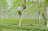 Women working in Assam tea garden, Jorhat, Assam, India, Asia