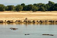 Hippopotamus Hippopotamus amphibius, Luangwa River, South Luangwa National Park, Zambia, Africa