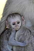 Infant Vervet Monkey Chlorocebus aethiops, Kruger National Park, South Africa, Africa