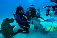 Scuba diver handles nurse shark, Ginglymostoma cirratum, while being filmed, Molasses Reef, Key Largo, Florida, USA, Atlantic Ocean