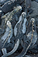 The endemic Galapagos marine iguana Amblyrhynchus cristatus in the Galapagos Island Archipeligo, Ecuador This is the only marine iguana in the world, ...