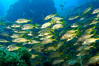 School of smallmouth grunts, Haemulon chrysargyreum, Ressurreta, Fernando de Noronha national marine sanctuary, Pernambuco, Brazil South Atlantic