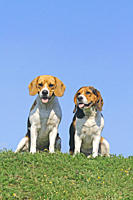 two Beagle dogs _ sitting on meadow