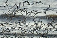 Flock of greenshank, St Ishmaels, Cardigan Bay