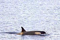A small pod of about 12 Type B Orca Orcinus nanus encountered in Southern Gerlache Strait near the western side of the Antarctic Peninsula, Antarctica...