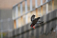 Black Guillemot Cepphus grylle flying with out of focus wall and fence in background Oban Bay, Argyll, Scotland, UK