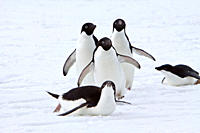 Adelie penguin Pygoscelis adeliae near the Antarctic Peninsula, Antarctica The AdÈlie Penguin is a type of penguin common along the entire Antarctic c...