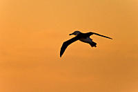 Adult Black_browed albatross Thalassarche melanophrys on the wing in the Drake Passage between South America and Antarctica, Southern Ocean The Black_...