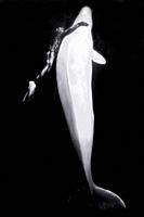 Beluga whales in the white sea Russia