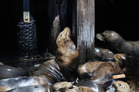 California Sea lion Zalophus Californianus several animals hauled out on a dock, one animal has a fresh wound from a cookie cutter shark,Monterey,Cali...