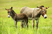 Feral Burro - Donkey - Equus asinus Equus africanus asinus - Custer State Park - South Dakota - Decendents of burros used to carry visitors to Harney ...