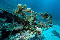 Bow of the wreck at Abu Galawa Soraya, near Marsa Alam, showing good coral growth Red Sea Egypt