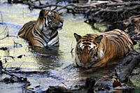 Bengal Tigers Panthera tigris tigris, wild adult males, critically endangered Bandhavgarh Tiger Reserve, India